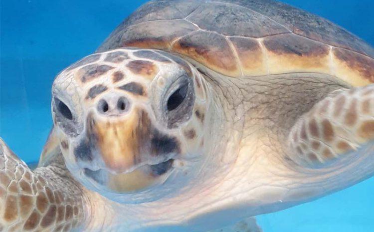 Mikrobiom glavate želve (Caretta caretta): uvid u epizoičke i endozoičke zajednice